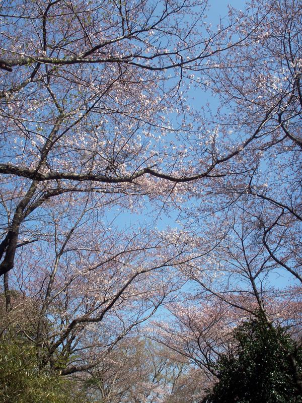 三ツ池公園の桜(2009/4/2)