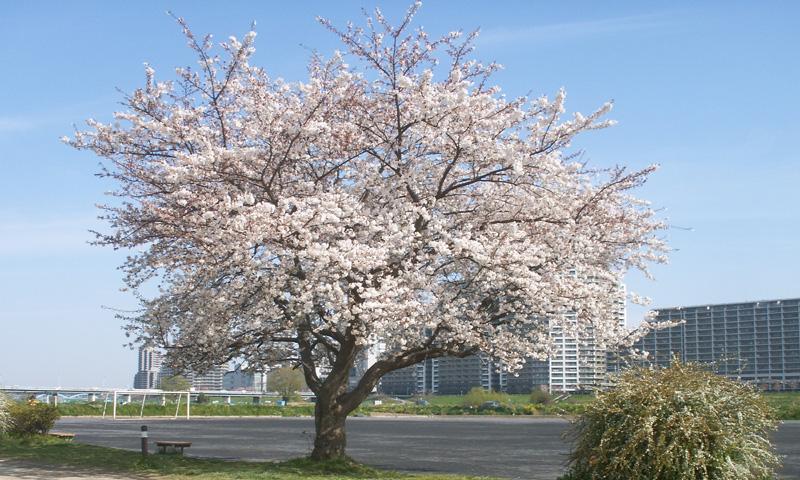 多摩川河川敷の桜(2009/4/3)