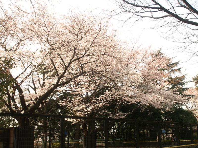 夢見ヶ崎動物公園の桜と動物(2009/4/3)