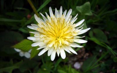 Taraxacum albidum