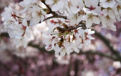 blossom and honeybee