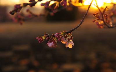 sakura_sunset.jpg