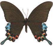 Papilio chikae (Luzon peacock swallowtail)