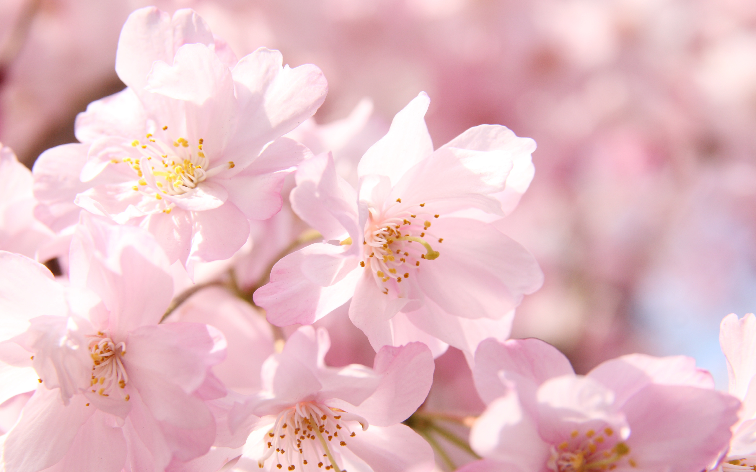 今日の壁紙 横浜の桜 Ringoon Pop